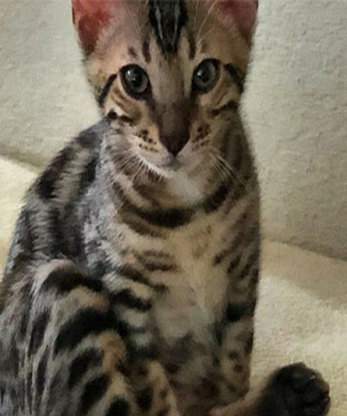 A Bengal Cat with Beautiful Black Spots