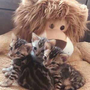 Kittens by a Lion